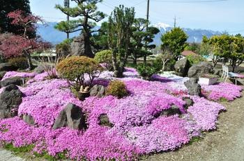芝桜と甲斐駒.jpg