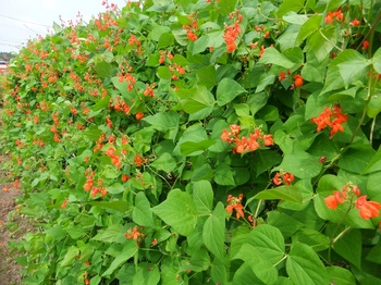 花豆の花.jpg