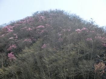 かごやまのアカヤシオ.JPG
