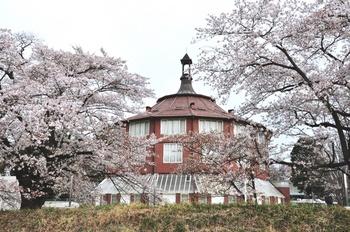 清春の桜.jpg