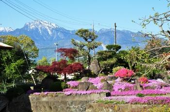 甲斐駒と芝桜.jpg