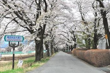 真原の桜並木.jpg