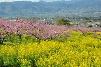 菜の花と桃.jpg